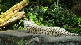 White tiger went to sleep in the zoo.  stock video footage