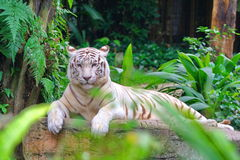White tiger. What a big cats, see clearly, this is a white tiger Stock Photo