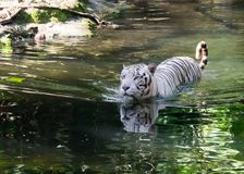 White Tiger. Photograph with camera in light with nobody but anytime Stock Images