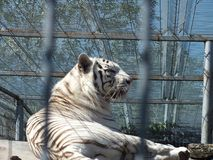 White tiger. In a zoo resting stock image