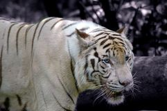 White Tiger in Winter Royalty Free Stock Image