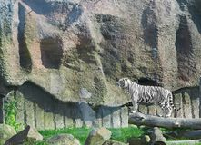 WHITE TIGER on a wood in zoo Stock Photography