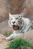 White tiger yawns Stock Images