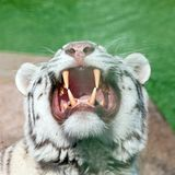 White tiger yawns and shows his beautiful powerful fangs. Close up shot Stock Photo
