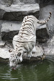 White tiger. Young white tiger captured while thirsty Stock Photo