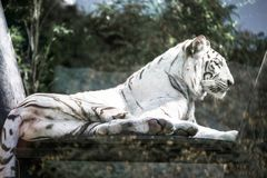 White tiger at the zoo stock photos