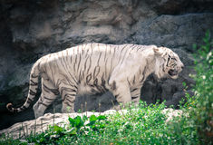 White tiger in ZOO Bratislava Royalty Free Stock Photo