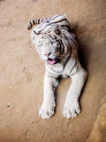 White tiger at zoo Stock Photos