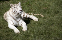 White tiger. In the zoo park Royalty Free Stock Photo