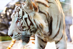 White tiger in zoo Royalty Free Stock Images