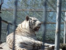 White tiger. In a zoo resting royalty free stock photos