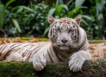White tiger in the zoo royalty free stock photography