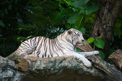 White tiger. In zoo thailand Stock Photo
