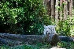 White tiger in the Zoo. White tiger crouching behind a log in a zoo Royalty Free Stock Images