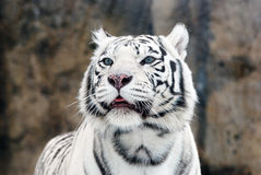 White Tigers. Portrait of a white tiger with blue eyes Stock Image