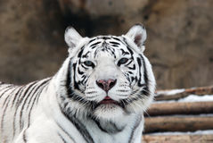 White Tigers. Portrait of a white tiger with blue eyes Royalty Free Stock Photography