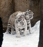 White Tigers. Two white tigers in snow Stock Photography