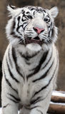 White Tigers. Portrait of a white tiger with blue eyes Stock Photography