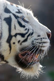 White Tigers. Portrait of a white tiger with blue eyes Stock Photo
