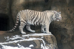 White Tigers Royalty Free Stock Image