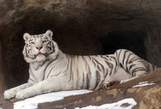 White Tigers Royalty Free Stock Photography