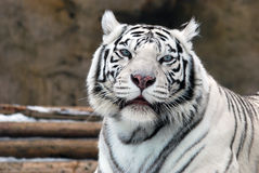 White Tigers. Portrait of a white tiger with blue eyes royalty free stock photos
