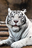 White Tigers. Portrait of a white tiger with blue eyes Royalty Free Stock Images