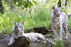 White tigers Stock Images