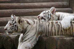 White tigers. Two having a rest white tigers lying on the timbered bridge Stock Image