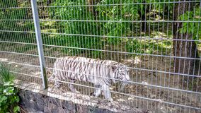White tigers in a cage. In a zoo Stock Photography