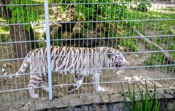 White tigers in a cage Stock Photography