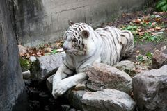 White tiger. S climb on the ground Royalty Free Stock Image