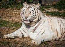 White tigers Royalty Free Stock Photo