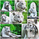 White tigers collage. Collage from white tigers in different poses Stock Image