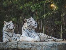 White Tigers looking away in the forest royalty free stock images