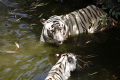 White tigers. Pair of white tigers standing in the water Royalty Free Stock Images