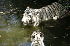 White tigers. Pair of white tigers standing in the water Stock Images