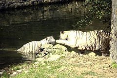 White tigers. Pair of white tigers standing in the water Stock Image
