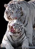 White tigers Panthera tigris bengalensis isolated at black. The White tigers Panthera tigris bengalensis isolated at black stock images