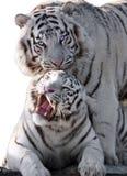 White tigers Panthera tigris bengalensis isolated at white. The White tigers Panthera tigris bengalensis isolated at white royalty free stock photography