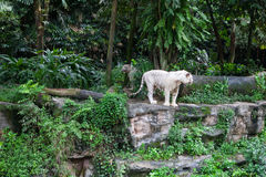 White tigers in the rainforest Stock Image