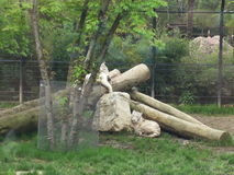 White tigers in relax. Two tigers in relax in a park near a tree Royalty Free Stock Photo