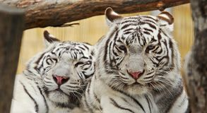 White tigers rest together Royalty Free Stock Photography