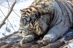 White tigers in the Siberian Tiger Park, Harbin, China. Harbin Siberian Tiger park is the largest one in the world royalty free stock image