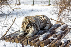 White tigers in the Siberian Tiger Park, Harbin, China. Harbin Siberian Tiger park is the largest one in the world royalty free stock photography