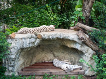 White Tigers sleeping Royalty Free Stock Photography