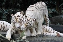 White tigers smooching. Pair of white tigers in Singapore Zoo having a tender moment Stock Photography