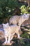 White tiger in a zoo of Spain royalty free stock image