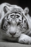 White tigress. Portrait on black Stock Photography