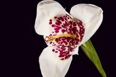 White tigridia flower. Isolated on black background Stock Image